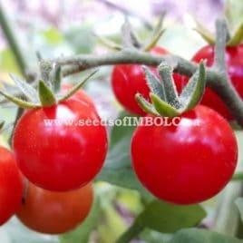 Grays Sweet Cherry Tomato – SEED