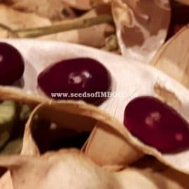 True Cranberry Bean – SEED