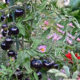 Indigo Rose Tomato – SEED