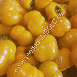 Doe Hill Sweet Pepper (pre 1900)(Capsicum annuum) SEED