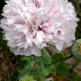 Pink Feathers Peony Poppy (Papaver paeoniflorum)