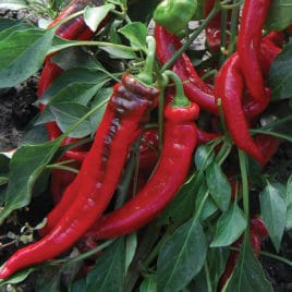 Jimmy Nardello's Sweet Pepper – SEED
