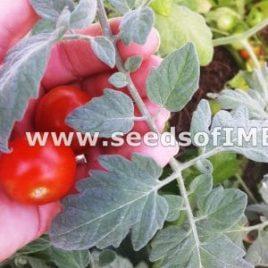Velvet Red Cherry Tomato – SEED