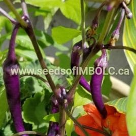 Bueno Mulata Hot Pepper (Capsicum annuum) – SEED