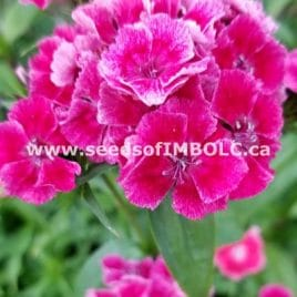 Sweet William Mix (Dianthus Barbatus)