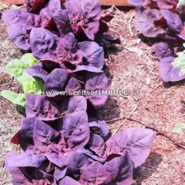 Triple Purple Orach (Atriplex hortensis)