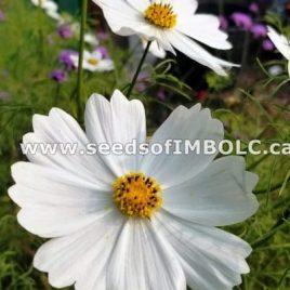 Purity white Cosmos (Cosmos bipinnatus)