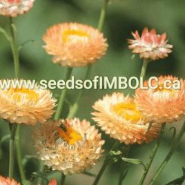 Apricot Mix Strawflowers (Helichrysum bracteatum syn. Xerochrysum bracteatum)