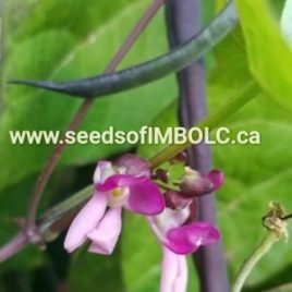 Trionfo Violetto Pole Bean (Phaseolus vulgaris)
