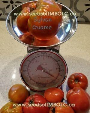 sylvan guame tomato scale