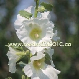 (Alcea rosea) HOLLYHOCKS MIX SOLD OUT
